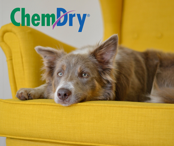 dog relaxing on yellow upholstery in The Villages FL, First Class Chem-Dry